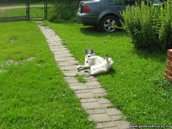 Сибирский хаски сибирский хаски
