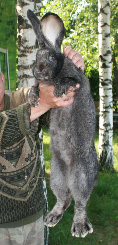 родители кролики породы фландр кормление зимнюю прогулку